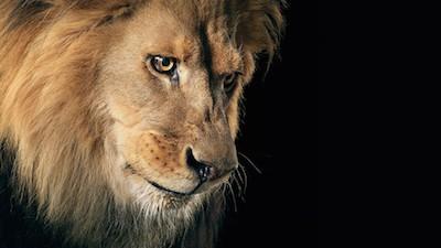 lion-wallpaper-in-hd