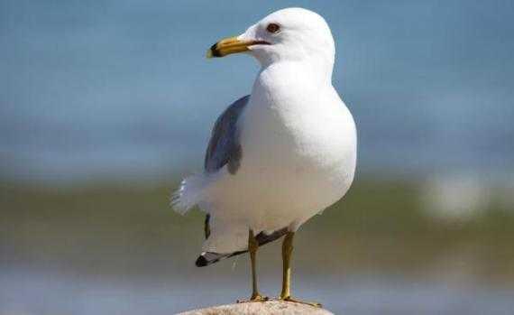 seagull1