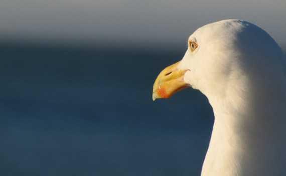 seagulls3