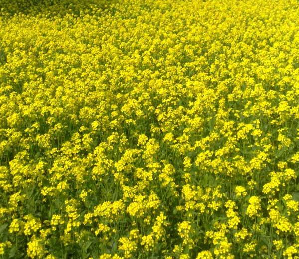 mustard-field